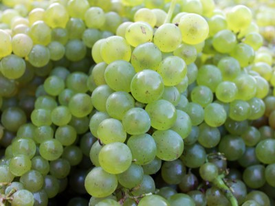 Montezuma Grapes