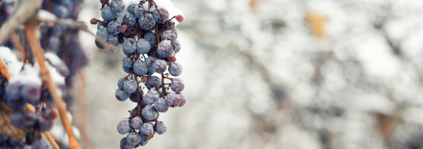 Frozen grapes on vine